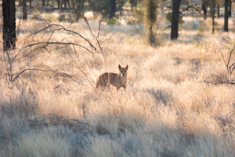 Le dingo dans la cambrousse