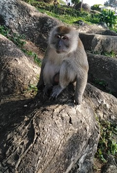 Méchant macaque