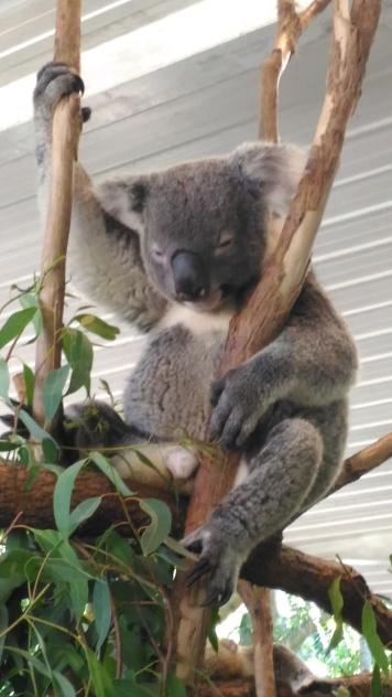 Les koalas parfois
