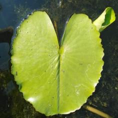Nénuphar Heart