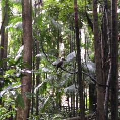 Kookaburra, qui imite le cri du singe