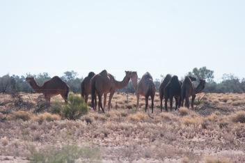 Les dromadaires du désert
